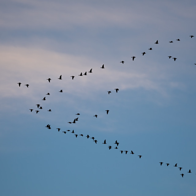 """Geese Formation"" stock image"