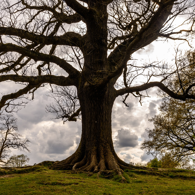 """Oak Tree Silhouette"" stock image"