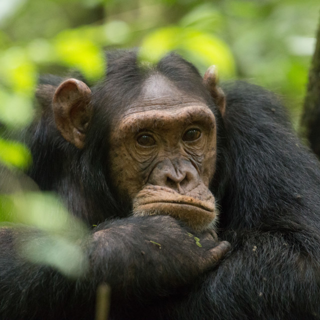 """Glum looking adolescent chimpanzee at Kibale Forest National Park, Uganda"" stock image"