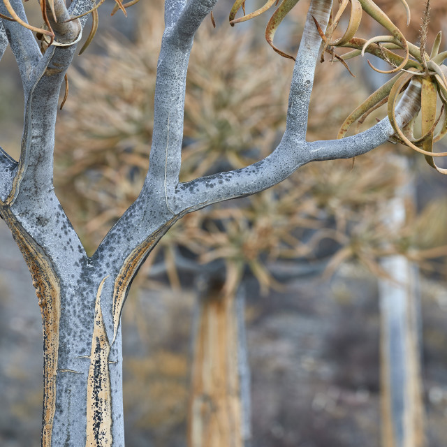 """Quiver Tree or Kokerboom (Aloe dichotoma), Gannabos, Namakwa, Namaqualand,..."" stock image"