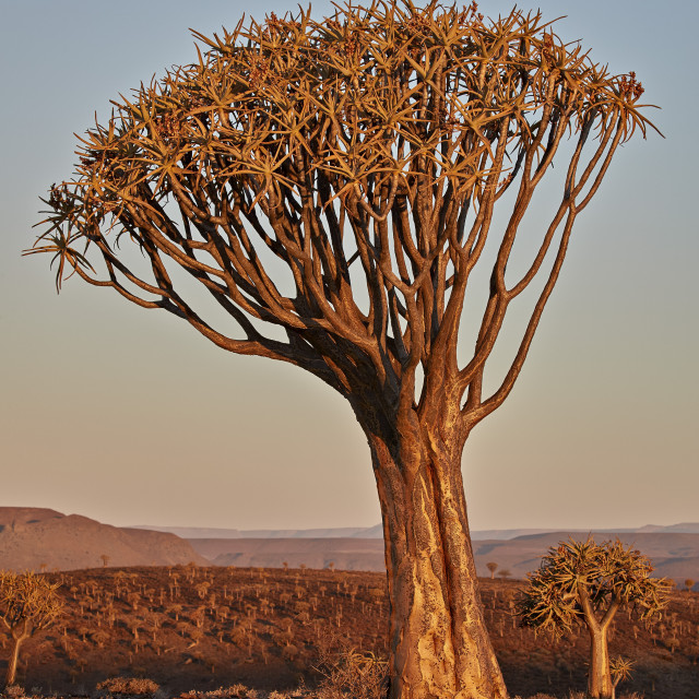 """Quiver Tree or Kokerboom (Aloe dichotoma), Gannabos; Namakwa, Namaqualand,..."" stock image"