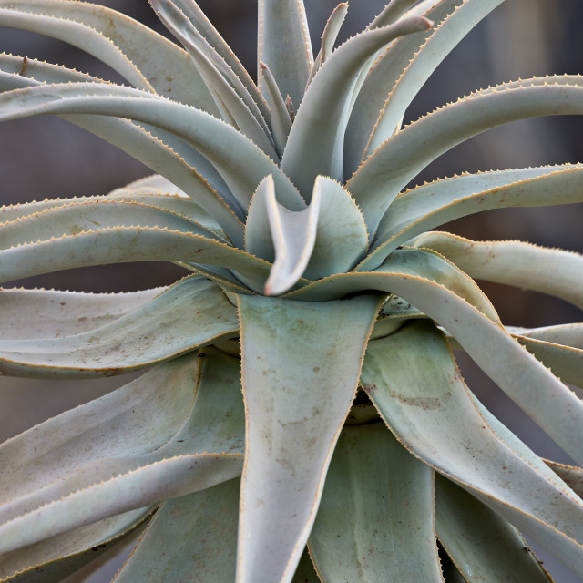 """Quiver Tree or Kokerboom (Aloe dichotoma) leaves, Gannabos, Namakwa,..."" stock image"