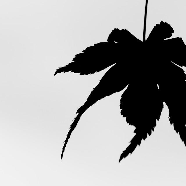 """""""Leaf Spider"""" stock image"""