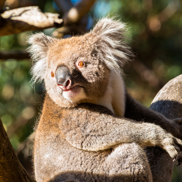 """Wild Koala in the trees on Kangaroo Island. South Australia."" stock image"