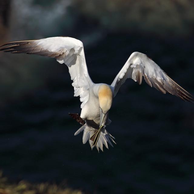 """Northern Gannet in flight"" stock image"