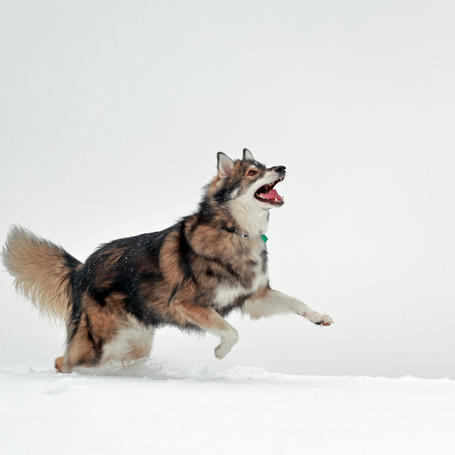 """Dog jumping in snow"" stock image"