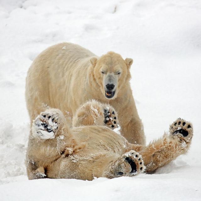 """Polar Bears"" stock image"