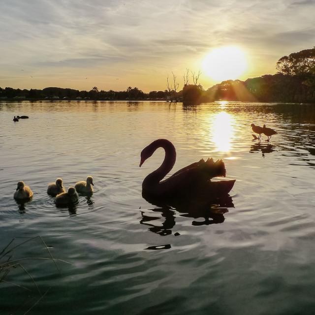 """Black swan at sunset"" stock image"