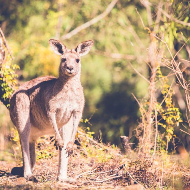 """Kangaroo in the bush"" stock image"
