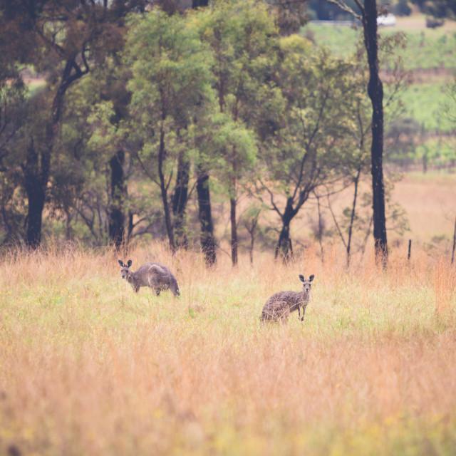 """""""Kangaroos in a paddock"""" stock image"""
