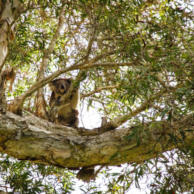 """Koala in a tree"" stock image"