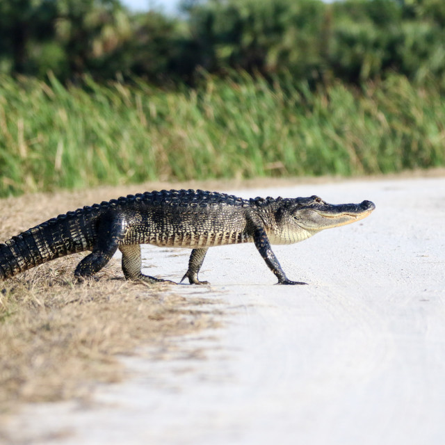 """Alligator Across"" stock image"