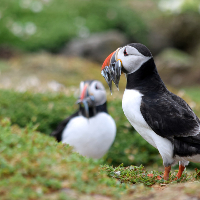 """""""Two puffins with fish"""" stock image"""