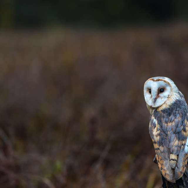 """""""Portrait of a Barn Owl"""" stock image"""