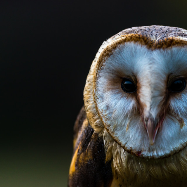 """Portrait of a Barn Owl"" stock image"