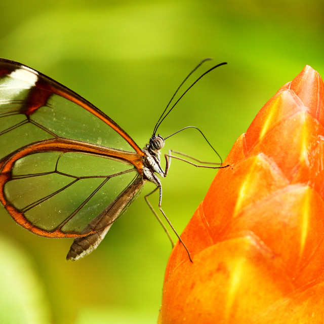 """Glassed wing tropical Butterfly"" stock image"