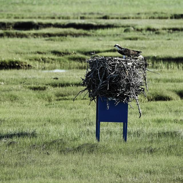 """Osprey nest in a wetland meadow, Cape Cod"" stock image"