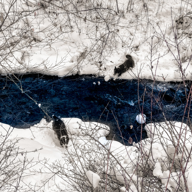"""""""border collies crossing a stream"""" stock image"""