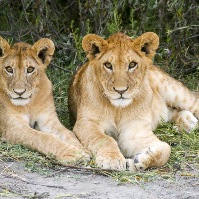 """""""Lion cubs (Panthera leo)"""" stock image"""