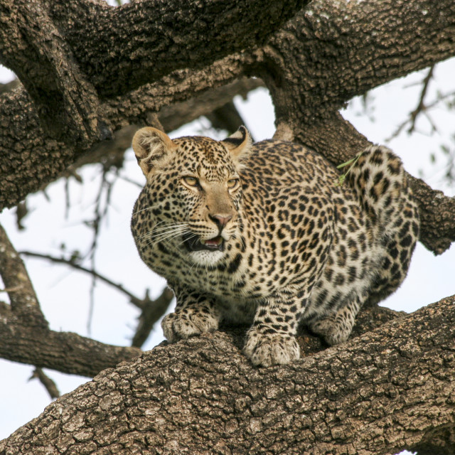"""leopard (Panthera pardus) on a tree."" stock image"