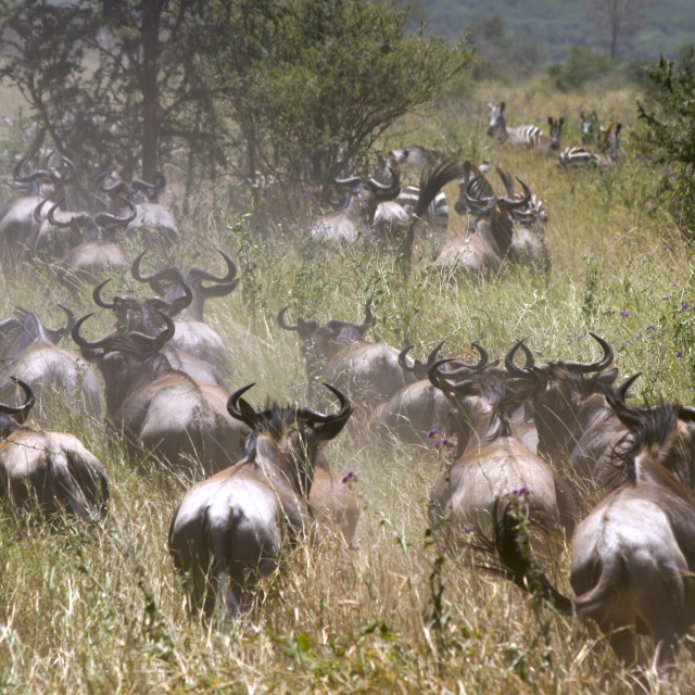 """Serengeti National Park"" stock image"