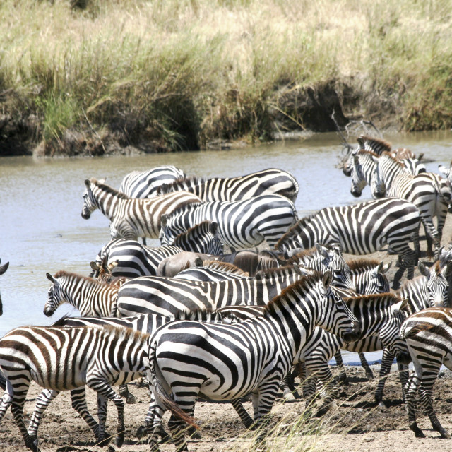 """annual migration Tanzania"" stock image"