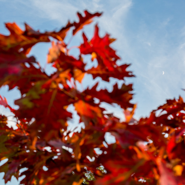 """""""Moon framed by blurred oriental plane tree red autumn leaves"""" stock image"""