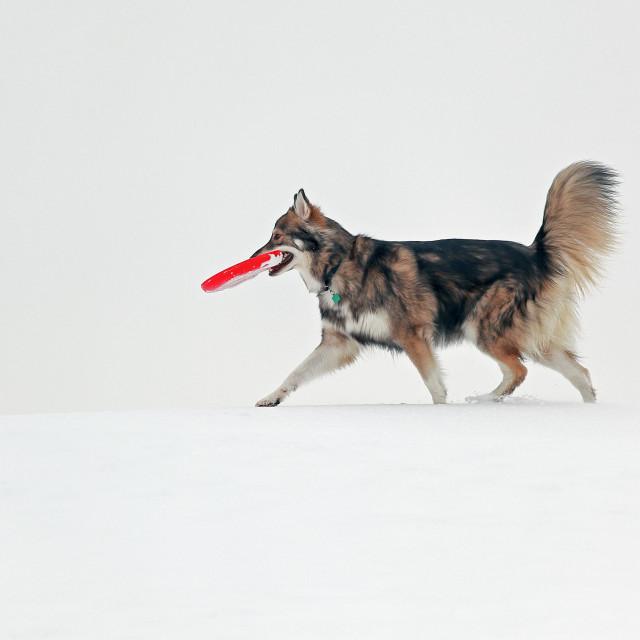 """Dog with frisbee"" stock image"