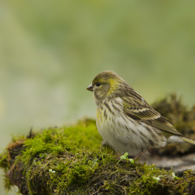 """Serin bird perched on branching garden pond"" stock image"