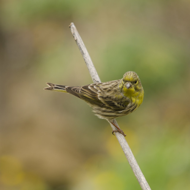 """Serin bird perched on branch"" stock image"