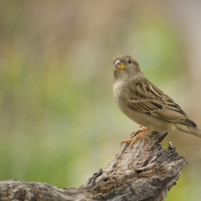 """Female house sparrow perched on branch"" stock image"
