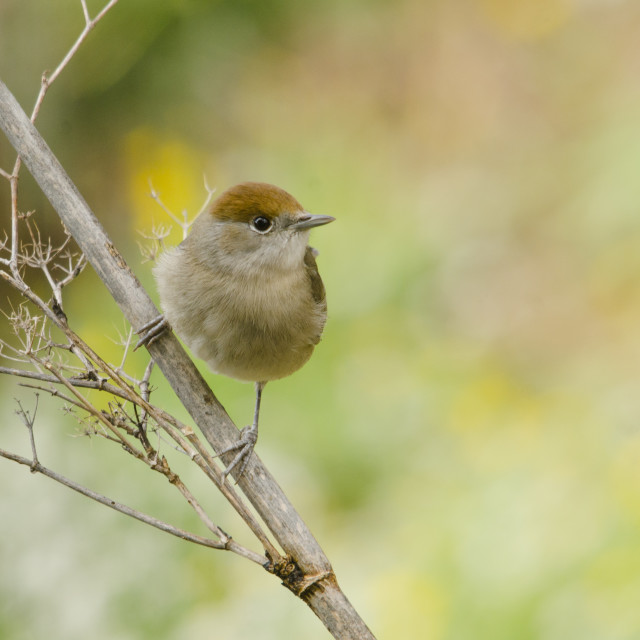 """Female blackcap (sylvia atricapilla) perched on branch"" stock image"