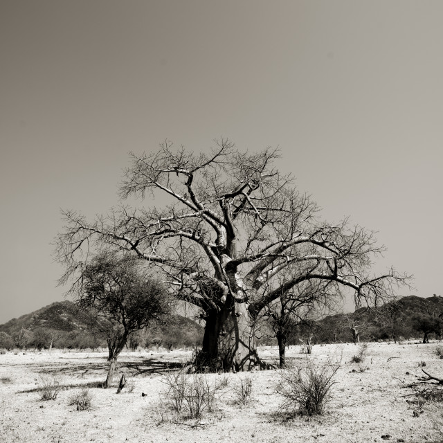 """Baobab Tree In The Bush, Angola"" stock image"