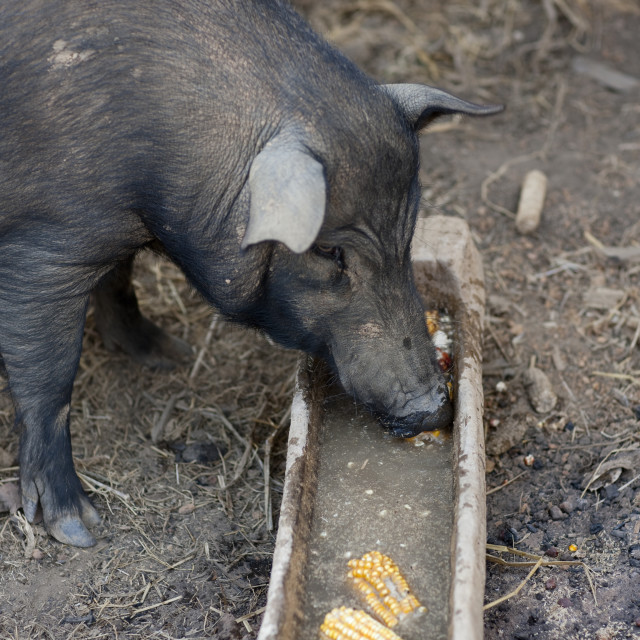 """""""Pigs in bor kai village of thelahu tribe, Thailand"""" stock image"""