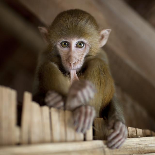 """""""Pet monkey in a karen village, North thailand"""" stock image"""