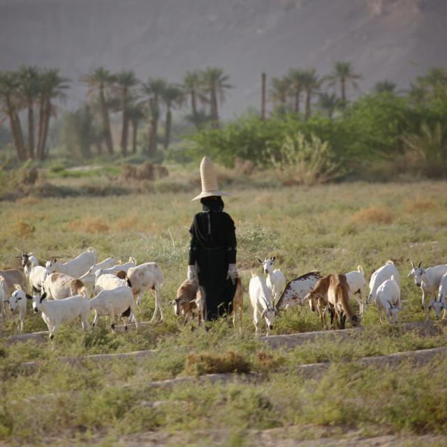 """Hadramaut Sheperd Woman Grazing Sheep In A Field, Yemen"" stock image"