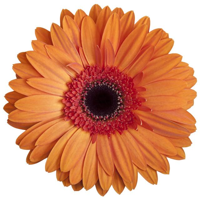 """""""Orange Gerbera Daisy on White Background"""" stock image"""