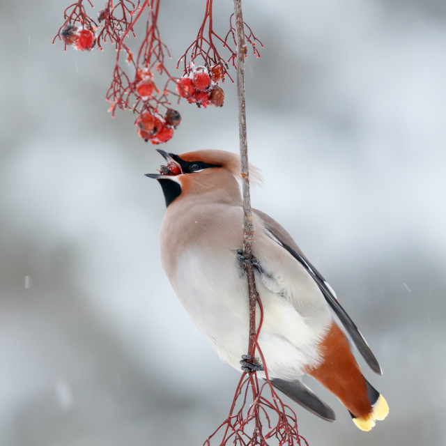 """Bohemian waxwing feeding on rowan berries"" stock image"