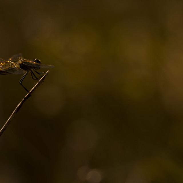 """A dragonfly with bokeh"" stock image"