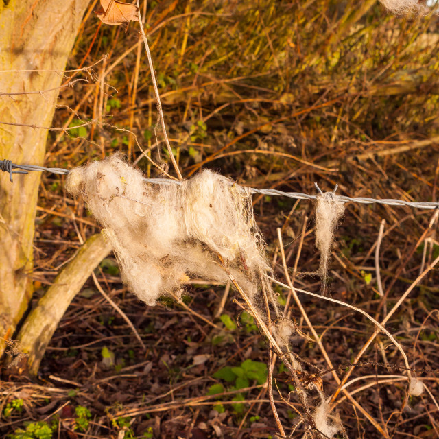 """""""strands tuft of wool in country sheep caught on metal wire barbed wire"""" stock image"""