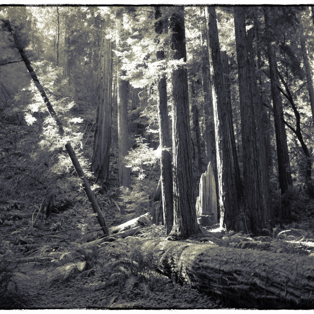 """Muir Woods"" stock image"
