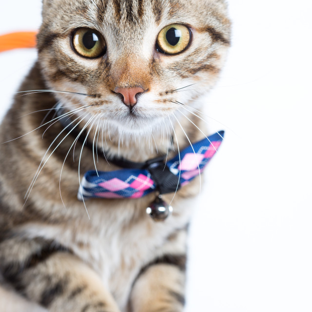 """Little cat with bow tie"" stock image"