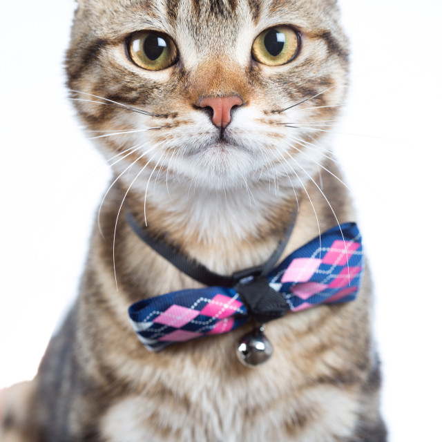 """""""Little cat with bow tie"""" stock image"""