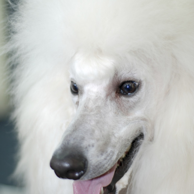 """standard white poodle"" stock image"