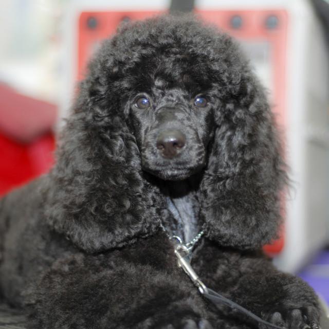 """black miniature poodle"" stock image"