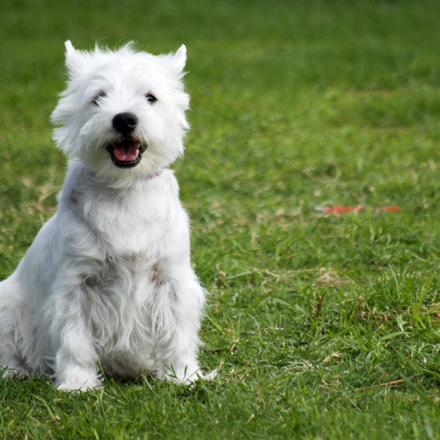 """""""West Highland White Terriers"""" stock image"""