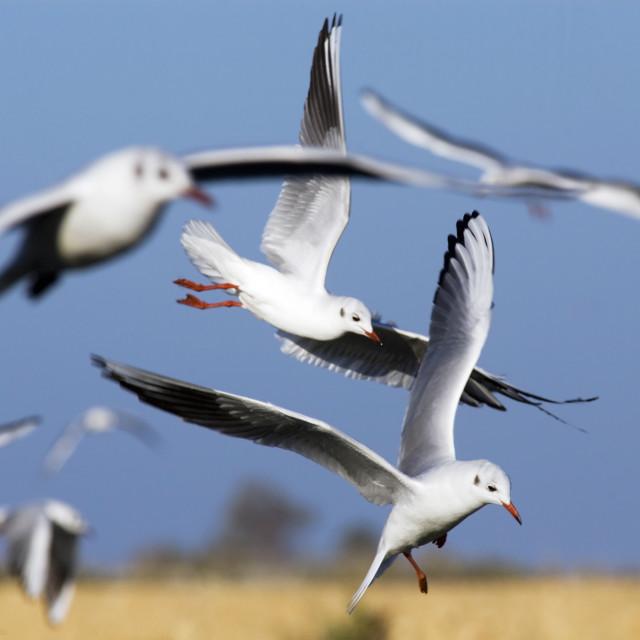 """Black-headed Gull (Larus ridibundus)"" stock image"