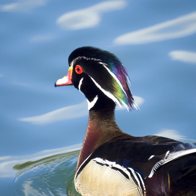 """""""male wood duck in a pond"""" stock image"""