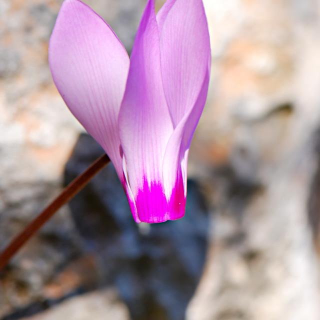 """Persian Violet"" stock image"