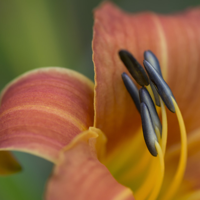 """Flower Stamen Macro"" stock image"